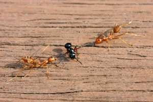 One of these ants is not having a good time.