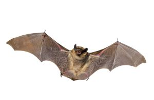 7026175 - a close up of the small bat. isolated on white.